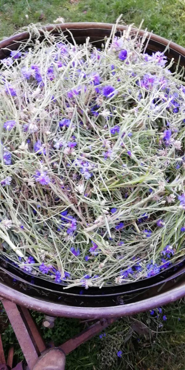 distillation du bleuet